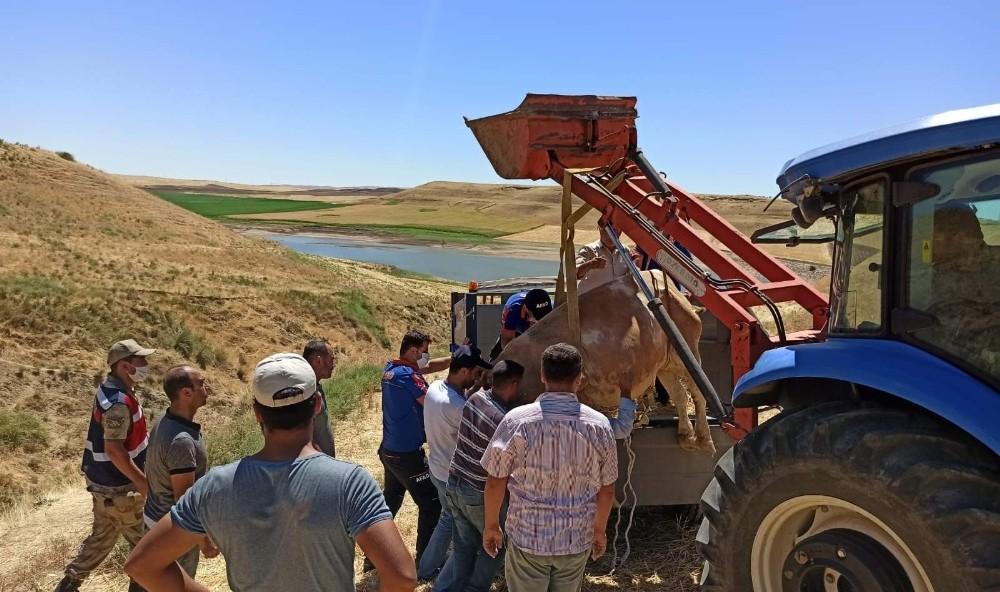Siirt'te çamura saplanan ineği AFAD ekipleri kurtardı