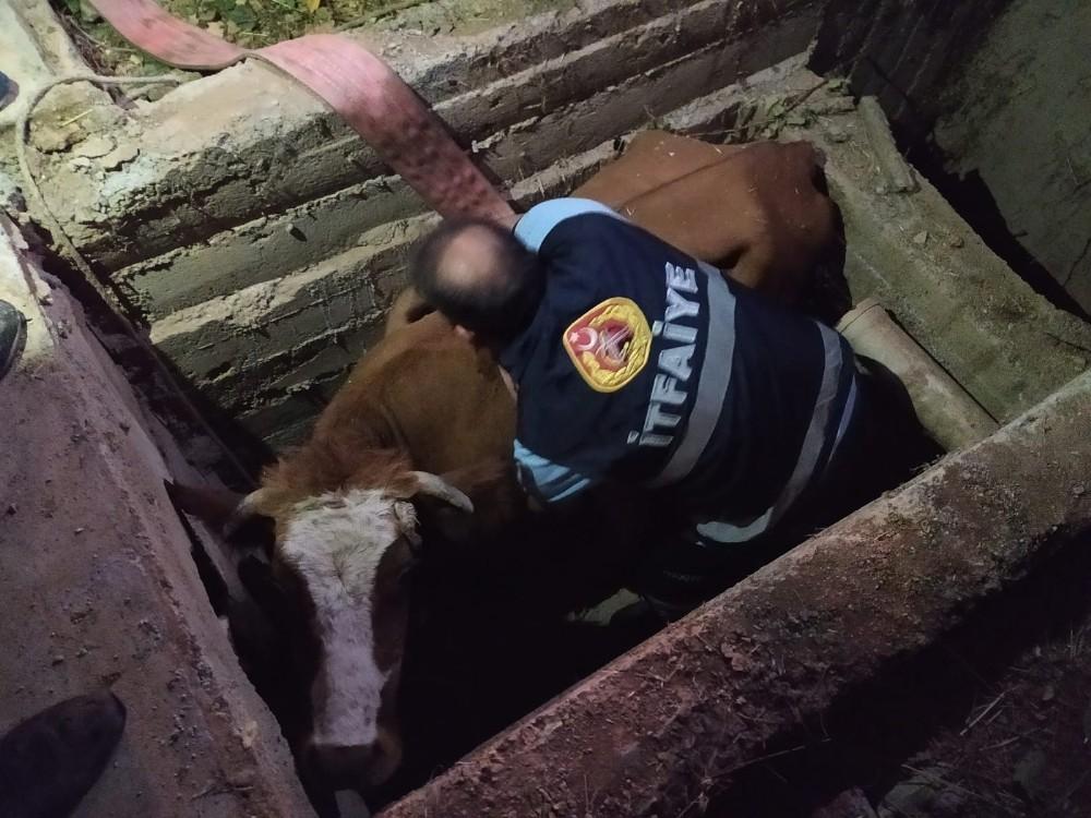 Kanalizasyon çukuruna düşen inek kurtarıldı