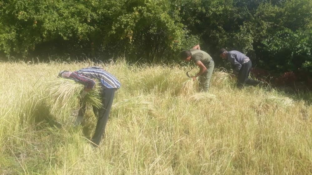Siirt'te köylüler pirinç hasadına başladı