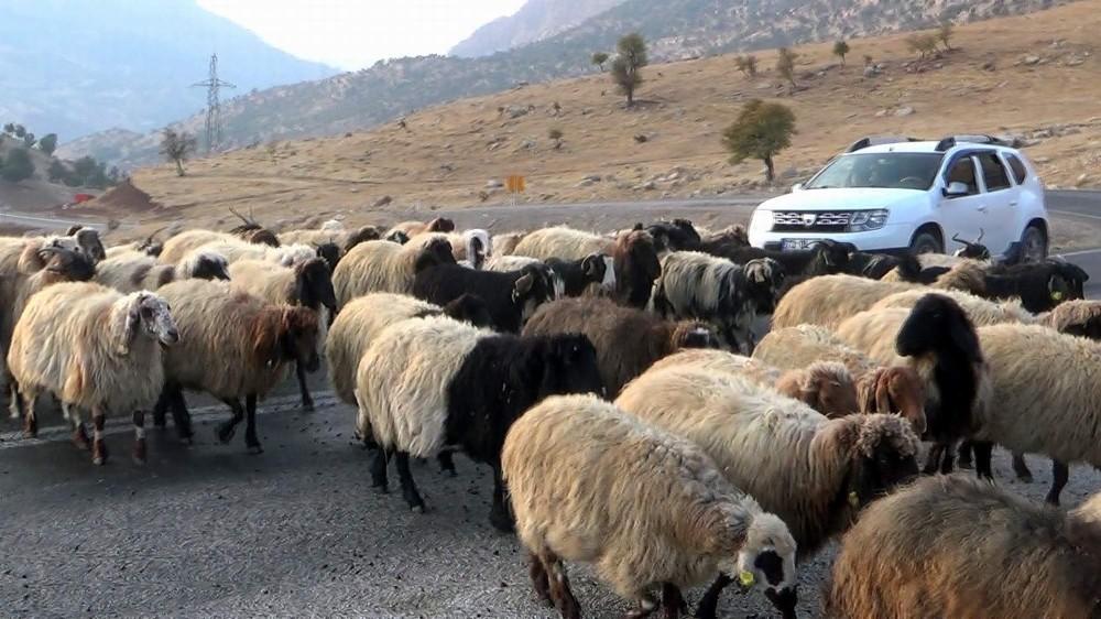 Koyun sürüsü karayolunu trafiğe kapattı, sürücüler ne yapacaklarını şaşırdı