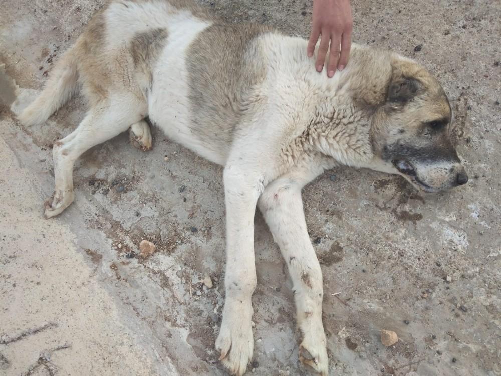 Siirt Belediyesi, aracın çarptığı köpek için seferber oldu