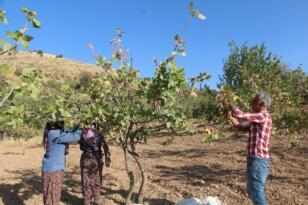 Siirt'te, ülke ekonomisine 10 milyar lira gelir sağlayan fıstık hasadı sona erdi
